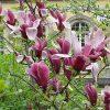 Magnolia_liliiflora2