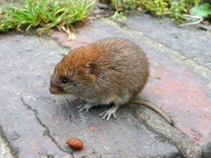 Bank_Vole_Myodes_glareolus_Grand_Union_Canal_2