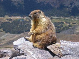 Marmot-edit1